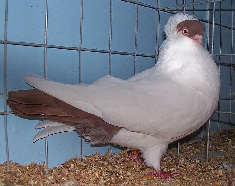 Crested helmet pigeon