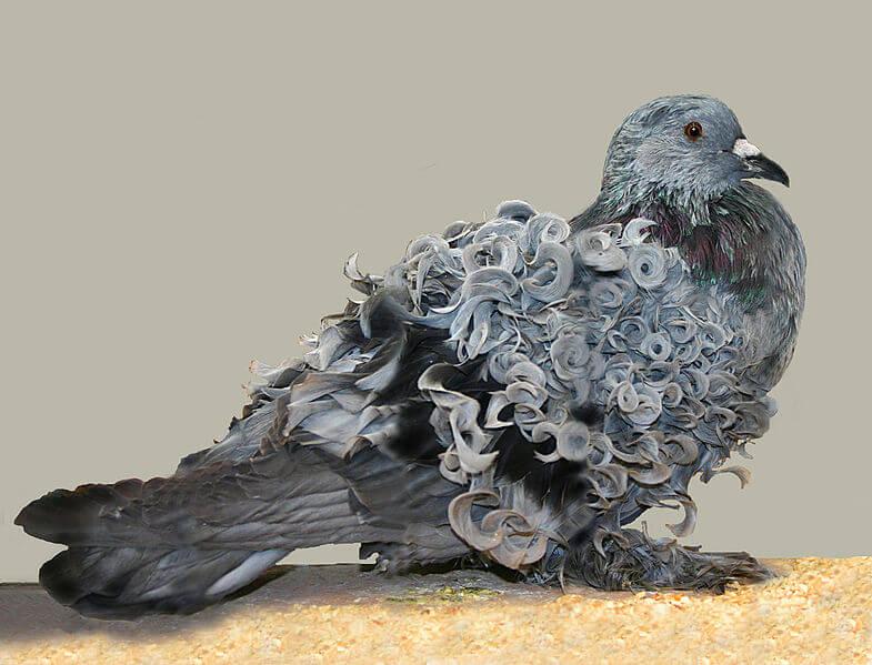 Frillback pigeon