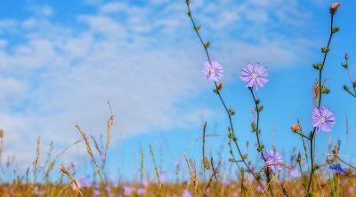 chicory wild flower