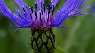 Knapweeds ( Centaurea )