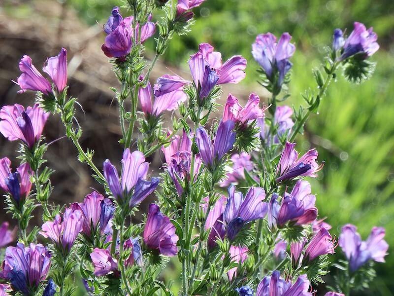 Echium Plantagineum Purple Vipers