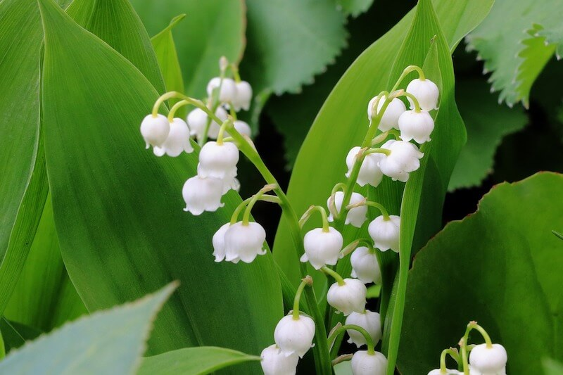 Lily of the Valley ( Convallaria Majalis )