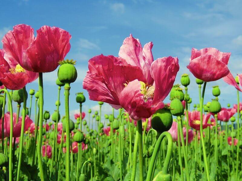 Opium Flower