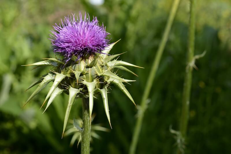 Silybum Marianum Milk Thistle