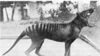 Tasmanian Tiger in captivity