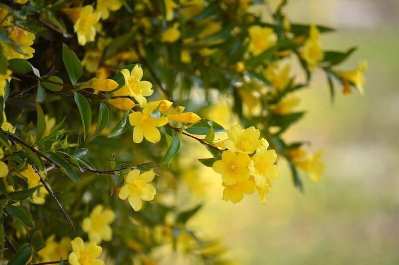 Yellow Jasmine ( Gelsemium Sempervirens )